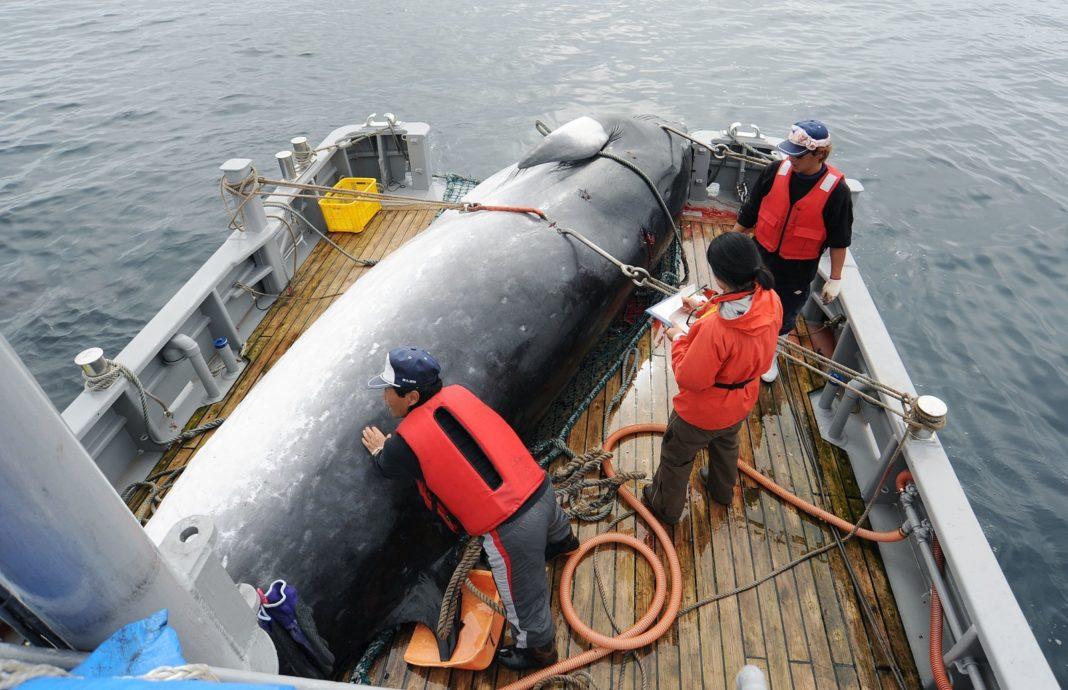 Baleia é levada a porto no Japão em foto de setembro de 2013 — Foto: Kyodo News via AP
