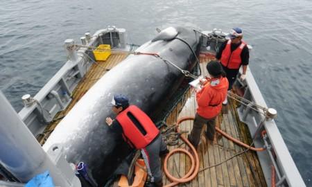 Japão deixa comissão e volta a caça comercial de baleias